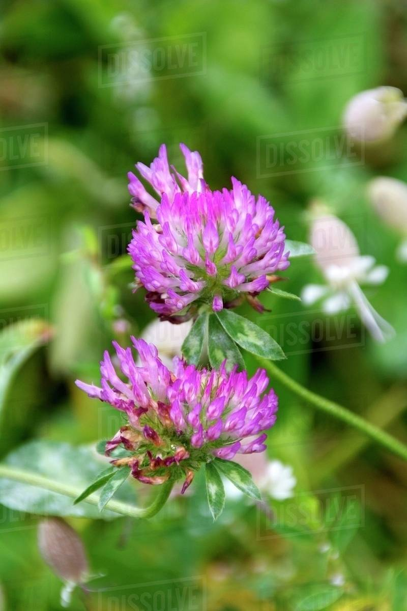 Purple Clover Leaves Against A Green Background Stock Photo Dissolve