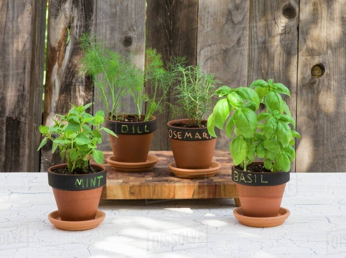 Various types of herbs in flower pots (mint basil dill and rosemary) with labels & Various types of herbs in flower pots (mint basil dill and ...