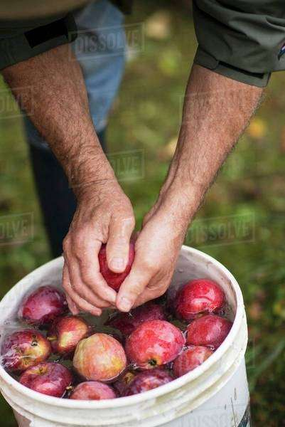 A Man Rinsing Fresh Picked Apples in a Bucket of Water Royalty-free stock photo