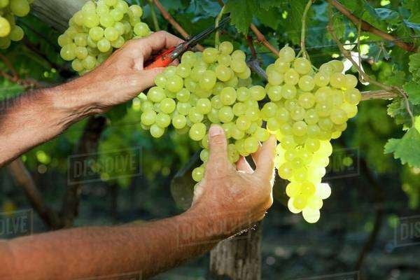 Grapes being cut from a vine Royalty-free stock photo