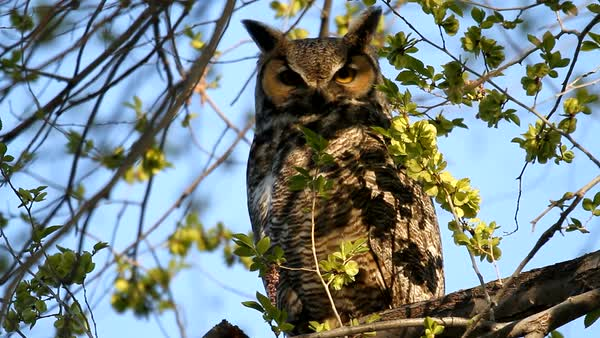 Great Horned Owl sitting in tree looking around. Royalty-free stock video
