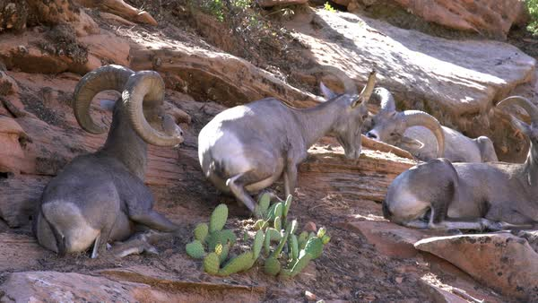 Footage of Big Horn Sheep sitting in the shade on hillside in Zion. Royalty-free stock video