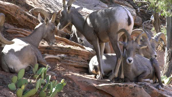 Herd of Big Horn Sheep on hillside in Zion, with a sheep walking down and out of view. Royalty-free stock video