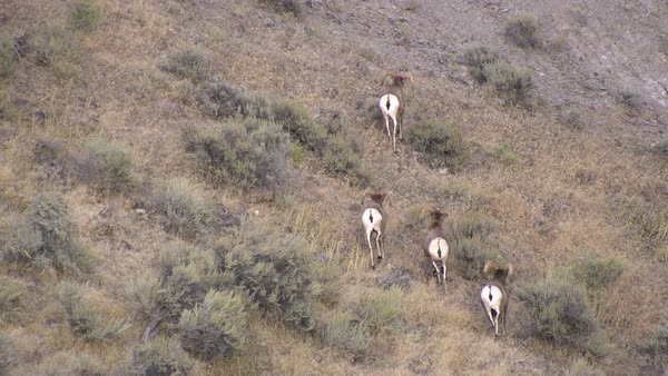 Four bighorn sheep walking up hillside towards dirt cliff. Royalty-free stock video