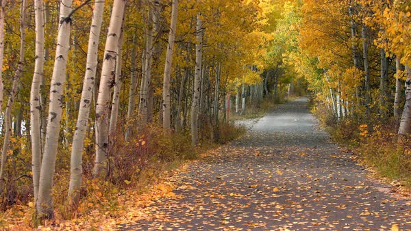 View of road leading through tunnel of aspen trees as leaves slowly fall in Autumn. Royalty-free stock video