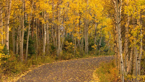 Yellow aspen trees glowing as road curves around corner in Autumn. Royalty-free stock video