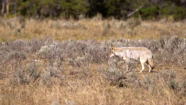 Coyote slowly walking while it is listening for gophers it is hunting. Royalty-free stock video