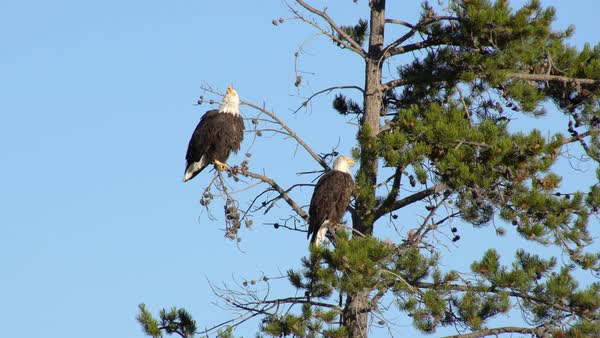 Two Bald Eagles chattering while in a tree next to a river in Wyoming. Royalty-free stock video