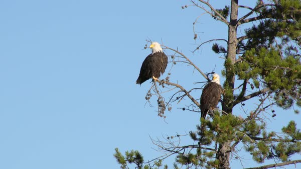 Two Bald Eagles sitting in a tree as one flies out. Royalty-free stock video