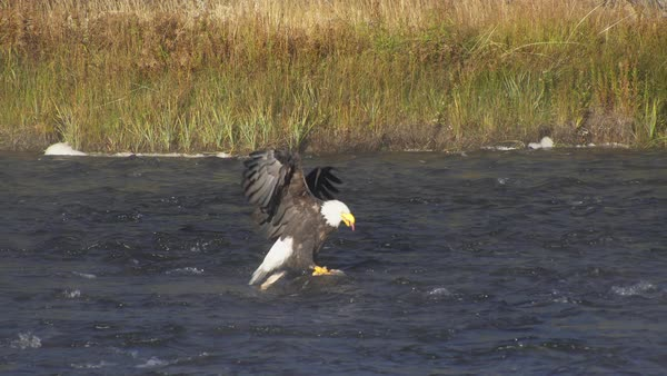 Bald Eagle feeding on deer carcass buried in the river in Yellowstone. Royalty-free stock video