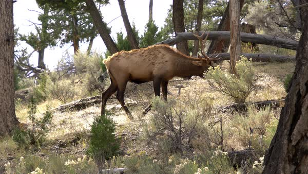 Bull Elk with trophy antlers walking up hill in forest Royalty-free stock video