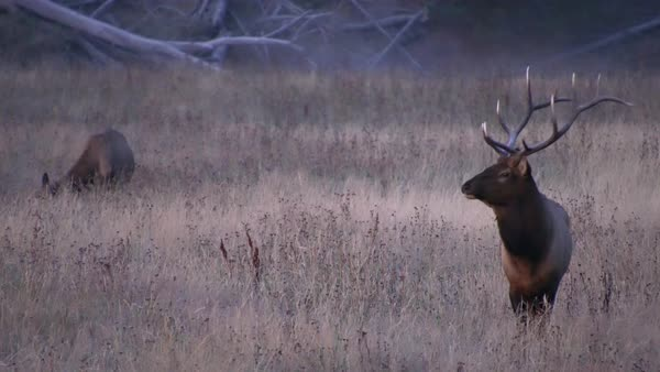 Bull Elk standing in field before dawn on cold morning in Wyoming. Royalty-free stock video