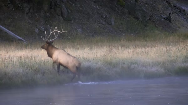Bull Elk climbing out of river at dawn on cold foggy day. Royalty-free stock video