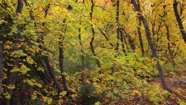 Walking through colorful forest in Autumn past trees and through the leaves, Royalty-free stock video