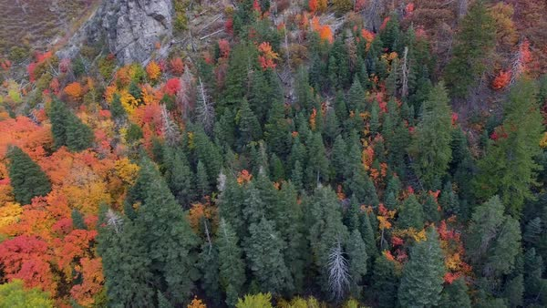 Panning aerial view over tree tops over colorful trees in Autumn in a Canyon in Utah. Royalty-free stock video