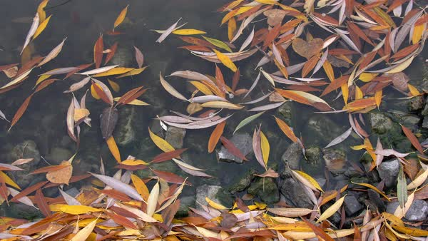 Fall leaves grouped together on shoreline of Utah Lake in Autumn Royalty-free stock video