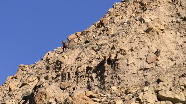 Lone Rocky Mountain Bighorn Ram walking down cliff Royalty-free stock video