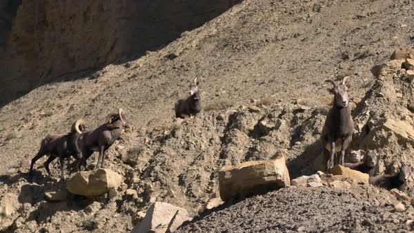 Rocky Mountain Bighorn Sheep standing and walking on rocky hillside Royalty-free stock video