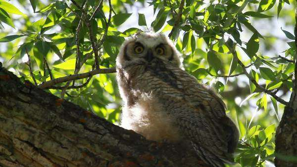 Baby Great Horned Owl sitting on a branch blowing in the wind. Royalty-free stock video