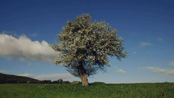 Spring landscape tree on grassy meadow sunny sky and clouds Royalty-free stock video