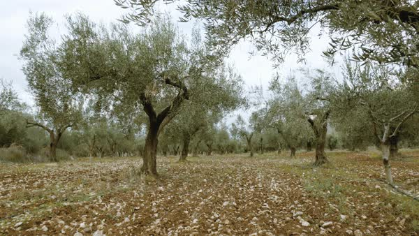 Steadicam shot of someone walking in a greek plowed field full of olive trees. Royalty-free stock video
