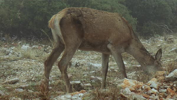 Red deer looking for food in a ravaged foggy forest during winter. Royalty-free stock video