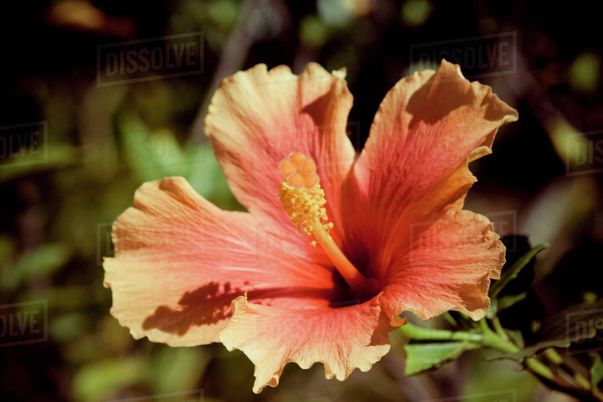 A Tropical Orange Pink Flower In Pai Thailand Stock Photo Dissolve
