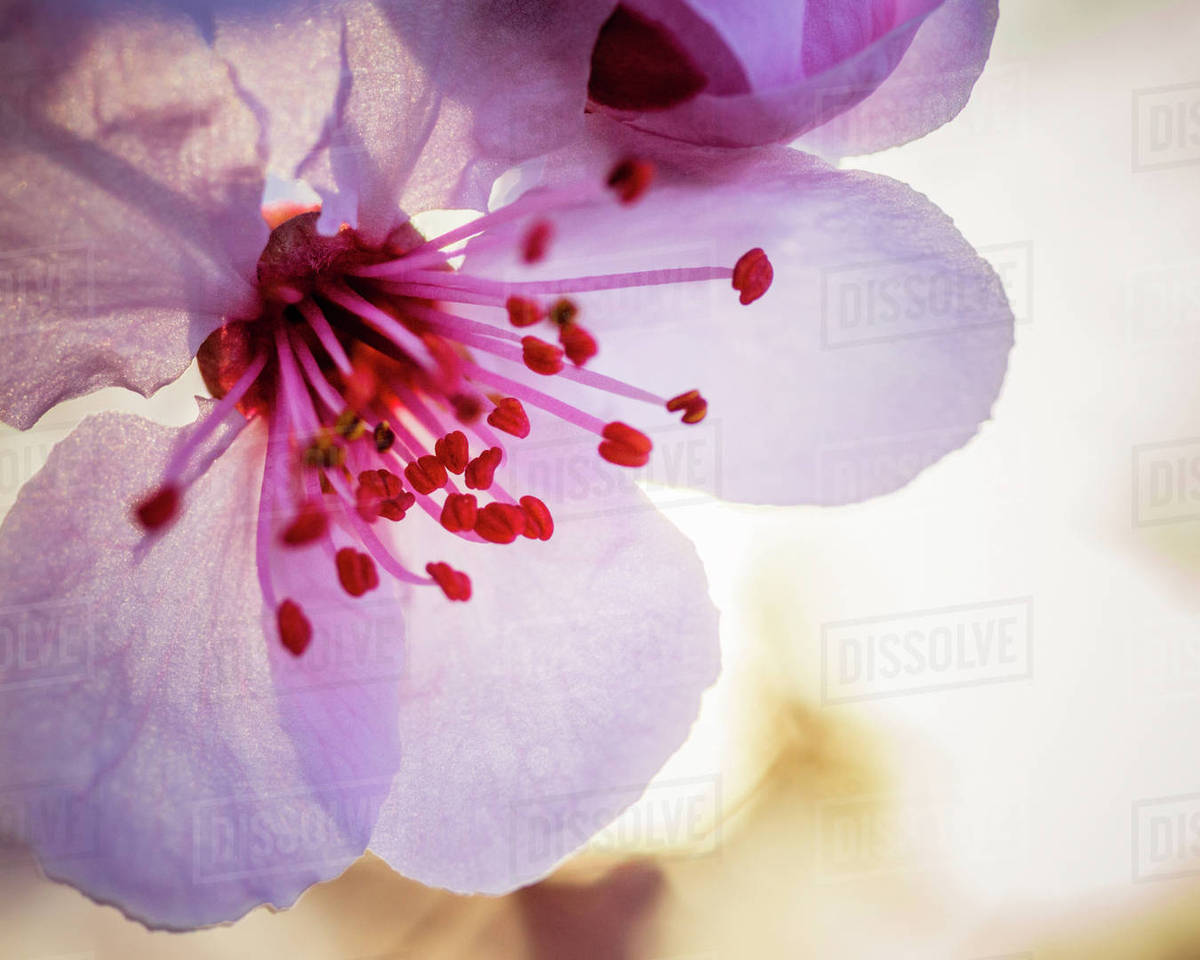Beautiful nature photograph with close up of plum flower blossom (Prunus mume), Windsor, California, USA