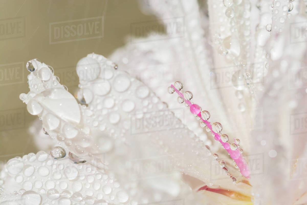 Close Up Of Water Droplets On White Flower With Selective Focus