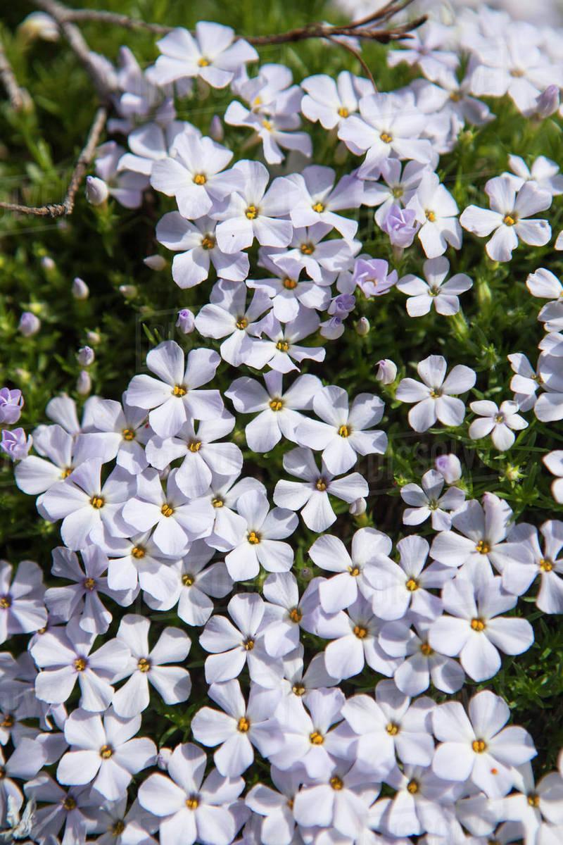 Lots of beautiful white wildflowers, Snoqualmie, Washington State, USA