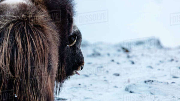 Rear View Of Musk Ox On Snowy Landscape In Dovrefjell National Park Royalty-free stock photo