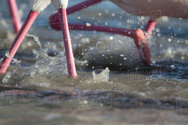 Close-up Of The Legs Of Several Pink Flamingoes Splashing In The Water Royalty-free stock photo