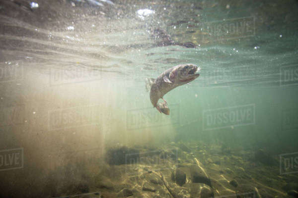 A Yellowstone Cutthroat Trout Underwater In A High Mountain River Royalty-free stock photo