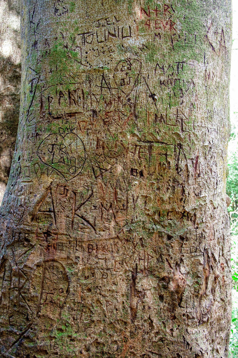 Initials And Names Carved Into Trees Along The Manoa Falls Hiking