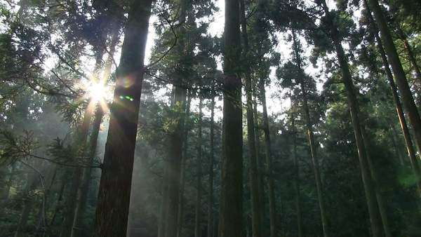 Japanese Cedar Grove, Fukui Prefecture, Japan Royalty-free stock video