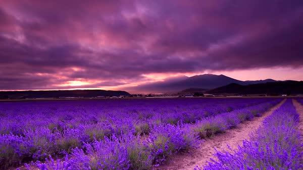 Lavender field in Furano, Hokkaido, Japan Royalty-free stock video