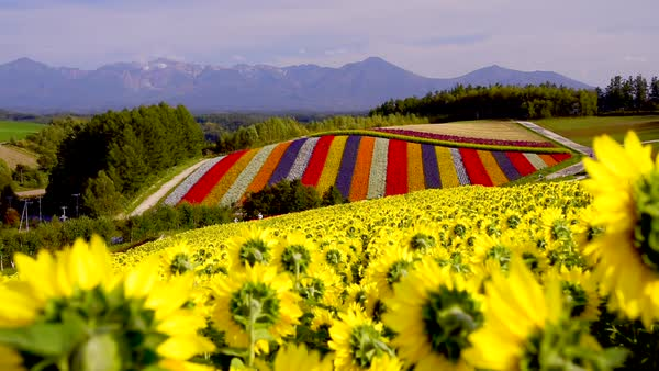 Sunflower field in Hokkaido, Japan Royalty-free stock video