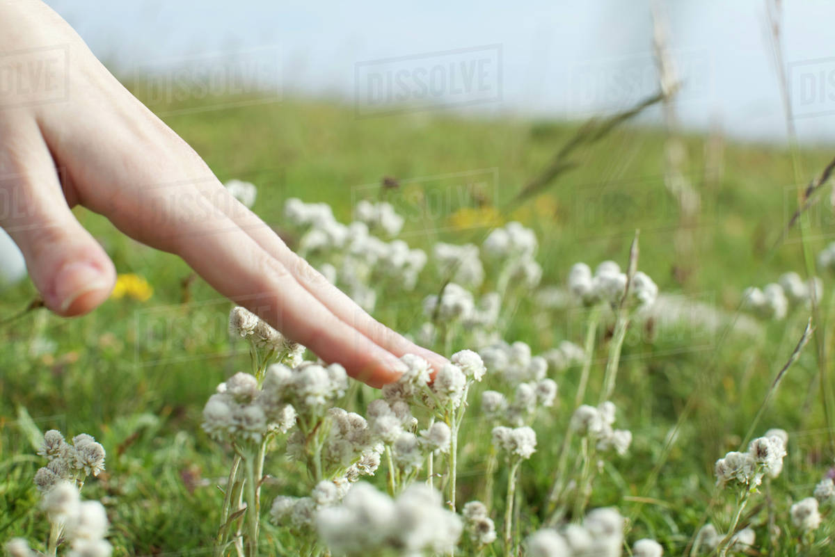 Hand Touching White Flowers In Meadow Cropped Stock Photo Dissolve