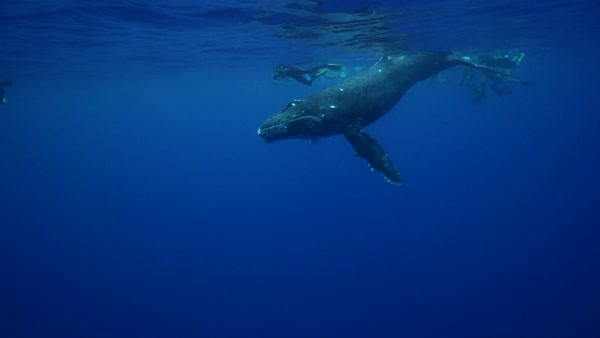 Humpback whale swimming with snorkelers Royalty-free stock video