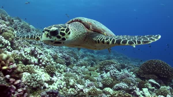 Hawksbill turtle on a tropical reef feeding, getting close to camera Royalty-free stock video
