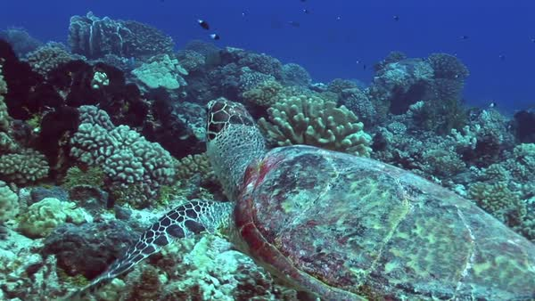Hawksbill turtle swims along a tropical reef  Royalty-free stock video