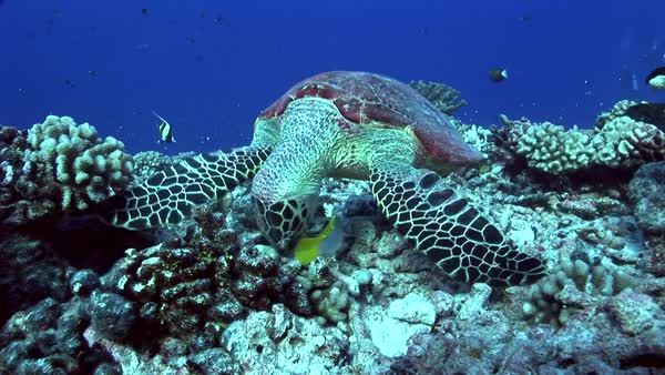 Hawksbill turtle on a tropical reef feeding Royalty-free stock video