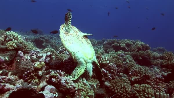 Hawksbill turtle on a tropical reef flipping over while feeding Royalty-free stock video