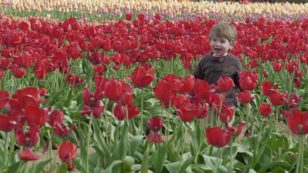 Tracking shot of a little boy walking in a tulip field Rights-managed stock video