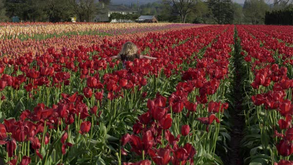 Hand-held shot of a little girl walking in a tulip field Rights-managed stock video