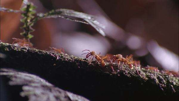 Hand-held shot of many red leaf ants walking on a tree branch Rights-managed stock video