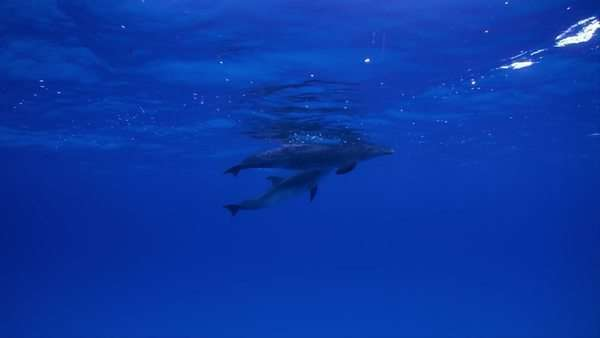 Tracking shot of two dolphins swimming together in blue ocean Rights-managed stock video