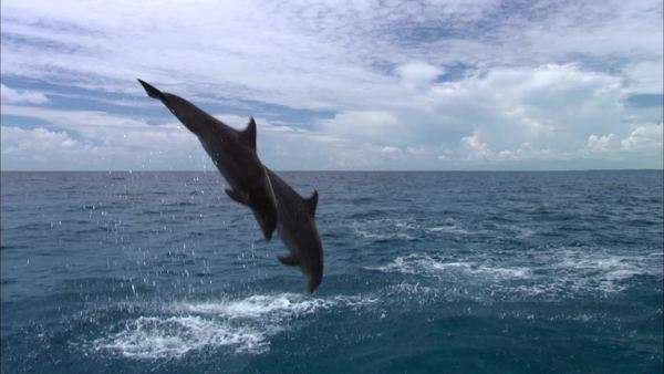 Montage of dolphins jumping out of water Rights-managed stock video