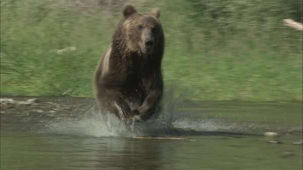 Tracking shot of a grizzly bear running in a stream Rights-managed stock video