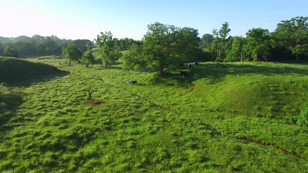 Moving through scenic country farm pasture with grazing cows, early morning, aerial view. Royalty-free stock video